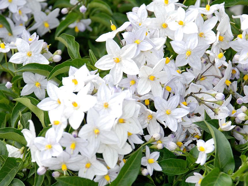 Solanum jasminoides solanum jasminoides for Piante da terrazzo sempreverdi