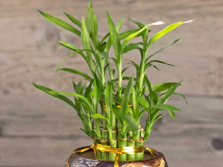 Bamb da interni bambusa vulgaris e altre specie for Bambu in vaso prezzo