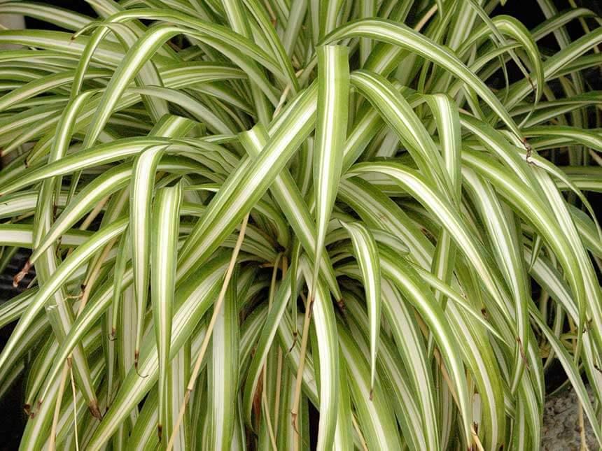 Clorofito - Chlorophytum - Giardinaggio.mobi