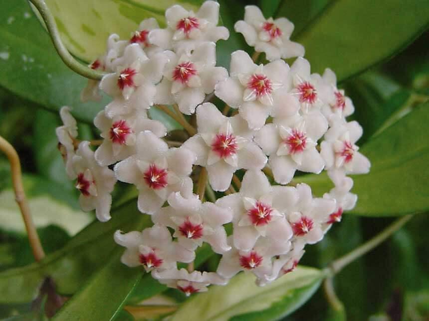 Hoya fiore di cera hoya carnosa for Pianta ornamentale con fiori a grappolo profumatissimi