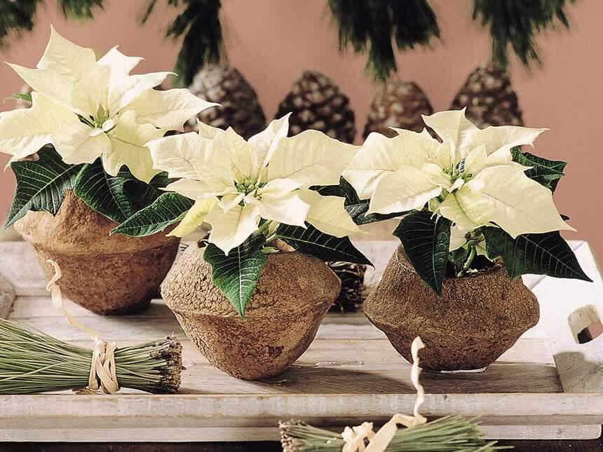 Stella Di Natale Appassita.Stella Di Natale Euphorbia Pulcherrima Poinsettia Giardinaggio
